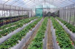 Θερμοκήπιο φραουλών στοκ φωτογραφία