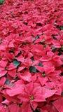 Θερμοκήπιο Poinsettias Στοκ εικόνες με δικαίωμα ελεύθερης χρήσης