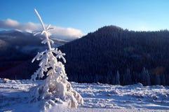 θερμό λευκό δέντρων έλατου φρέσκο ανοιχτό στοκ εικόνα