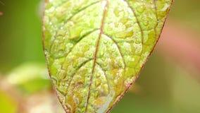 Θερμό τροπικό κλίμα φύσης φύλλων φυτού σταγόνων βροχής μειωμένο απόθεμα βίντεο