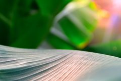 Θερμό φως του ήλιου του Ray στο φοίνικα φύλλων επιφάνειας Θερινό φυτικό υπόβαθρο, εκλεκτική εστίαση Για το περιοδικό κάλυψης, αφί Στοκ Εικόνα
