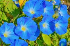 Θεϊκά μπλε λουλούδια ipomoea Στοκ φωτογραφία με δικαίωμα ελεύθερης χρήσης