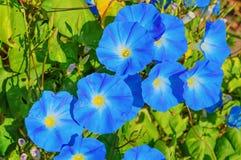 Θεϊκά μπλε λουλούδια ipomoea Στοκ Εικόνες