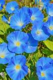 Θεϊκά μπλε λουλούδια ipomoea Στοκ Φωτογραφίες