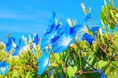 Θεϊκά μπλε ipomoea & x28 πρωί glory& x29  λουλούδια Στοκ εικόνα με δικαίωμα ελεύθερης χρήσης