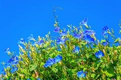 Θεϊκά μπλε ipomoea & x28 πρωί glory& x29  λουλούδια Στοκ φωτογραφία με δικαίωμα ελεύθερης χρήσης