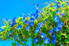 Θεϊκά μπλε ipomoea & x28 πρωί glory& x29  λουλούδια Στοκ Φωτογραφία