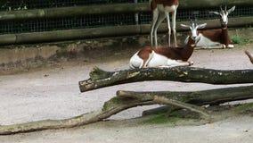Θηλαστικό ζωικό Deers στο ζωολογικό κήπο απόθεμα βίντεο
