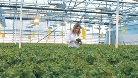 Θηλυκά δοχεία επιλογών κηπουρών με το μαρούλι Μια γυναίκα ανυψώνει τα δοχεία για να εξετάσει τα πιό κοντά, ελέγχοντας τις εγκατασ φιλμ μικρού μήκους
