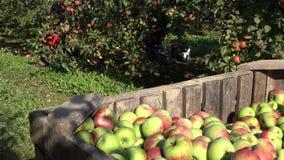 Θηλυκά κηπουρών φρούτα μήλων επιλογών ώριμα από τους νάνους κλάδους δέντρων μηλιάς 4K απόθεμα βίντεο