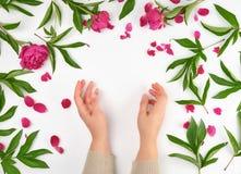 θηλυκά χέρια και burgundy που ανθίζουν peonies σε ένα άσπρο υπόβαθρο στοκ φωτογραφίες