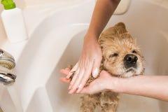 Θηλυκά χέρια που πλένουν τα αυτιά σκυλιών Στοκ εικόνα με δικαίωμα ελεύθερης χρήσης