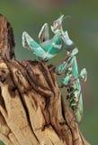 θηλυκά mantis Στοκ Εικόνα