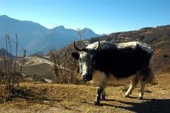 θηλυκά yak Στοκ εικόνα με δικαίωμα ελεύθερης χρήσης