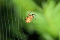 θηλυκή αράχνη ιστών αράχνης Στοκ εικόνα με δικαίωμα ελεύθερης χρήσης