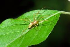 θηλυκή αράχνη ιστών αράχνης Στοκ εικόνες με δικαίωμα ελεύθερης χρήσης