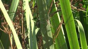 θηλυκή αράχνη σφηκών 4 Κ στη χλόη του εθνικού πάρκου Doñana στην Ανδαλουσία, Ισπανία απόθεμα βίντεο