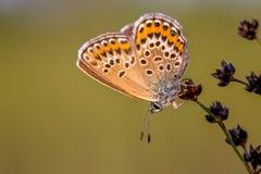 Θηλυκή ασημένια στερεωμένη μπλε πεταλούδα που στηρίζεται στο φως βραδιού Στοκ Εικόνες