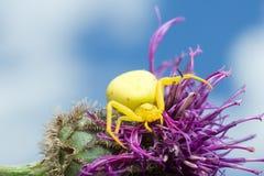 Θηλυκή καβούρι-αράχνη χρυσοβεργών, vatia Misumena στον κάρδο Στοκ Εικόνες