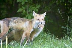 Θηλυκή κόκκινη αλεπού με τις νεολαίες του Στοκ Εικόνες
