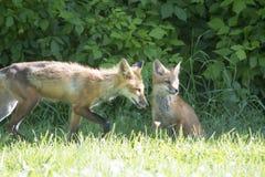 Θηλυκή κόκκινη αλεπού με τις νεολαίες του Στοκ Εικόνα