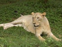 Θηλυκή λιονταρίνα Στοκ φωτογραφίες με δικαίωμα ελεύθερης χρήσης