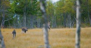 Θηλυκή μητέρα αλκών με δύο νέους περιπάτους αλκών calfs στο δάσος απόθεμα βίντεο