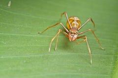θηλυκή μιμητική αράχνη μυρμ&et Στοκ φωτογραφία με δικαίωμα ελεύθερης χρήσης