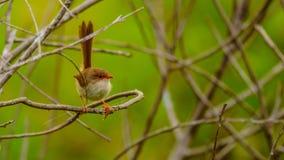 Θηλυκή νεράιδα Wren στην Αυστραλία στοκ εικόνα με δικαίωμα ελεύθερης χρήσης