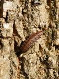 Θηλυκή προνύμφη σκουληκιών πυράκτωσης Firefly που σέρνεται στο φλοιό δέντρων Στοκ Εικόνες