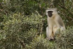 Θηλυκή προσοχή πιθήκων Vervet από ένα δέντρο στοκ εικόνες