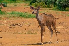Θηλυκή προσοχή Kudu για τον κίνδυνο στοκ φωτογραφία με δικαίωμα ελεύθερης χρήσης