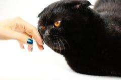 Θηλυκή σοβαρή μαύρη γάτα αφής χεριών με τα κίτρινα μάτια στο σκοτάδι FA Στοκ Εικόνες
