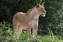 θηλυκή στάση λιονταριών Στοκ φωτογραφία με δικαίωμα ελεύθερης χρήσης