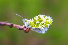 Θηλυκή συνεδρίαση πεταλούδων cardamines Anthocharis Plantain Ribwort lanceolata Plantago Στοκ Εικόνες