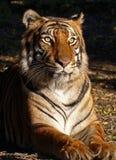 Θηλυκή τίγρη Στοκ φωτογραφία με δικαίωμα ελεύθερης χρήσης