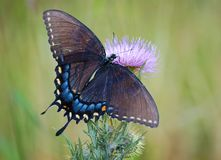 θηλυκή τίγρη swallowtail πεταλούδ&omega Στοκ Φωτογραφίες