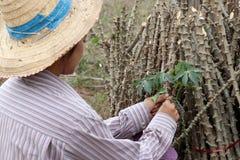 Θηλυκός αγρότης που πιάνει το μίσχο φύλλων του φυτού ταπιόκας με το άκρο ταπιόκας που κόβει το σωρό μαζί στο αγρόκτημα στοκ φωτογραφία