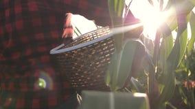 Θηλυκός αγρότης cornfield Γεωργική εργασία συγκομιδών για cornfield απόθεμα βίντεο