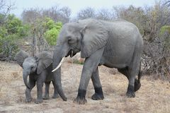 Θηλυκός αφρικανικός ελέφαντας θάμνων με το μωρό στο εθνικό πάρκο Kruger στοκ εικόνες
