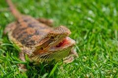 θηλυκός γενειοφόρος δράκος μια ηλιόλουστη ημέρα με το ανοικτό στόμα στοκ εικόνες