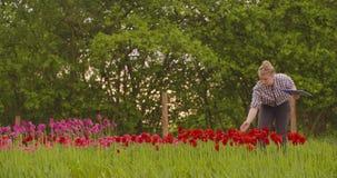 Θηλυκός ερευνητής που περπατά εξετάζοντας τις τουλίπες στον τομέα απόθεμα βίντεο