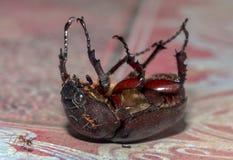 Θηλυκός κάνθαρος ρινοκέρων που βρίσκεται στην πλάτη στοκ φωτογραφίες