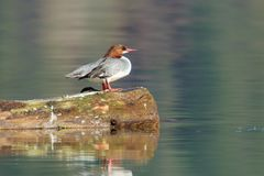 Θηλυκός κοινός μέργος σε μια σύνδεση η λίμνη στοκ φωτογραφία με δικαίωμα ελεύθερης χρήσης
