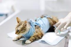 Θηλυκός κτηνιατρικός γιατρός που δίνει την έγχυση για τη γάτα που φορά τον επίδεσμο μετά από τη χειρουργική επέμβαση Στοκ Φωτογραφία