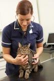 Θηλυκός κτηνιατρικός χειρούργος που εξετάζει τη γάτα στη χειρουργική επέμβαση Στοκ Φωτογραφία