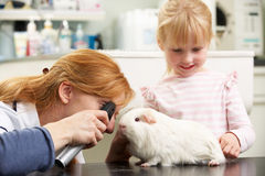 Θηλυκός κτηνιατρικός χειρούργος που εξετάζει το ινδικό χοιρίδιο Στοκ Φωτογραφίες