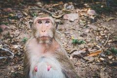 Θηλυκός με μακριά ουρά πίθηκος macaque που κοιτάζει επίμονα στο φωτογράφο Στοκ Εικόνες