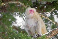 Θηλυκός πίθηκος χιονιού στο δέντρο Στοκ εικόνα με δικαίωμα ελεύθερης χρήσης