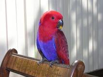 θηλυκός παπαγάλος eclectus Στοκ φωτογραφία με δικαίωμα ελεύθερης χρήσης